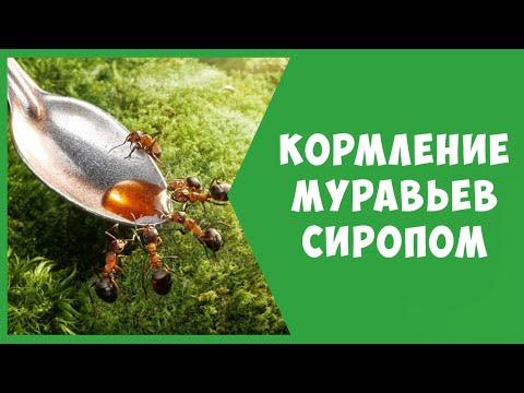 Кормление муравьев сиропом (глюкозой)