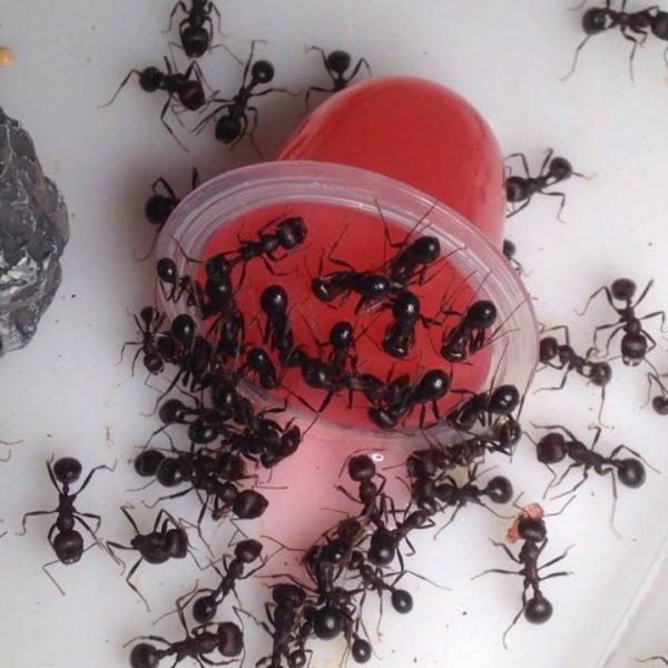 Углеводное желе для муравьев