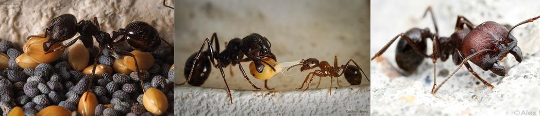 Какой вид муравьев выбрать для новичка?