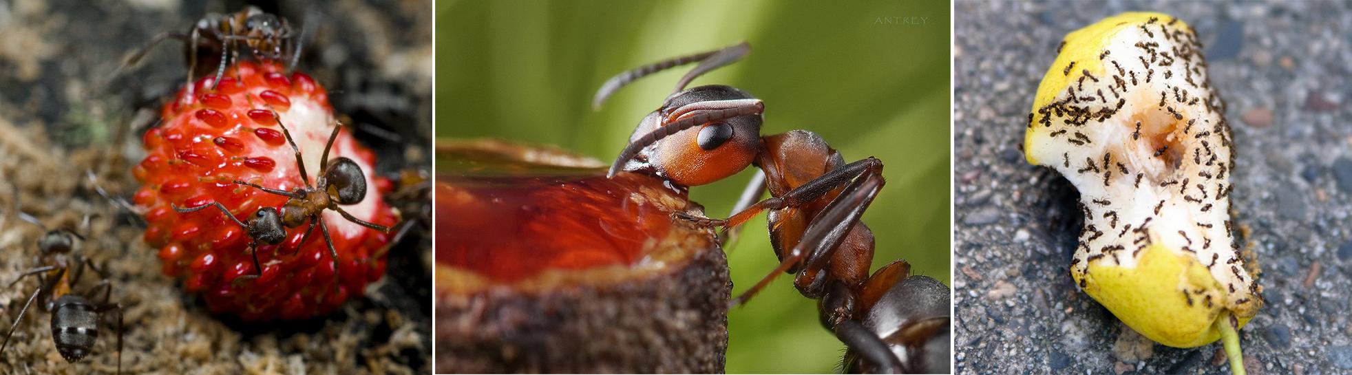 Чем кормить муравьев нигеров