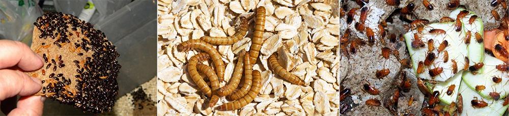 Кормовые культуры для муравьев