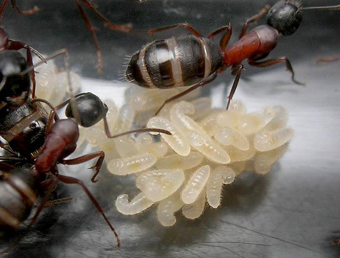 Как муравьи готовятся к зиме коротко