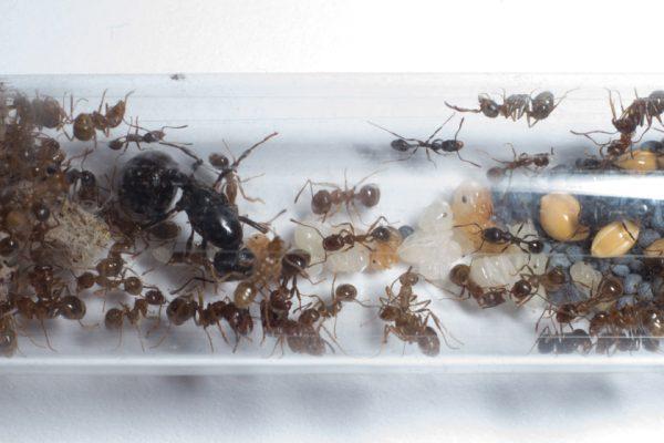Messor structor (муравей-жнец): матка с рабочими