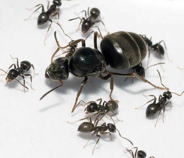 Lasius niger: матка с рабочими