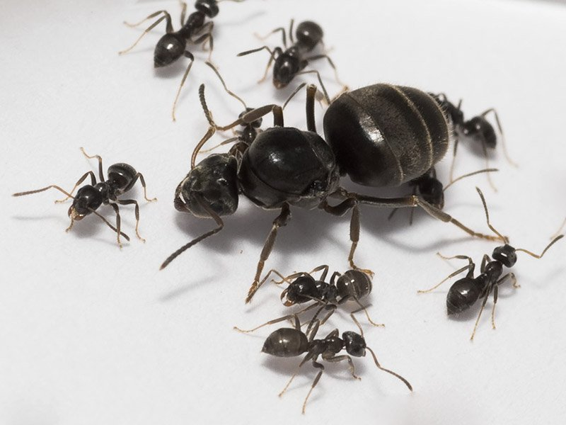 Lasius Niger (черный садовый муравей): уход и содержание в домашних условиях