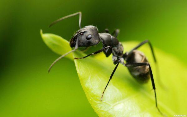 Lasius Niger (черный садовый муравей): Матка с рабочими