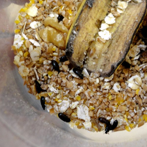 Жук знахарь (личинки) в контейнере