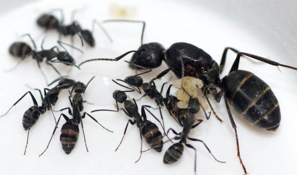 Camponotus Vagus: матка с рабочими