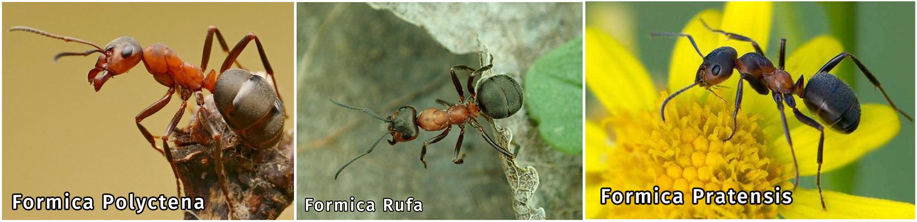Муравьи Formica