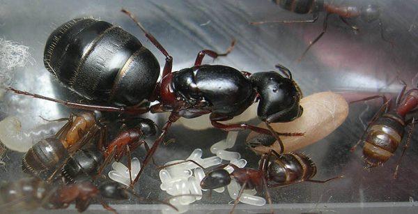 Camponotus herculeanus: матка с рабочими