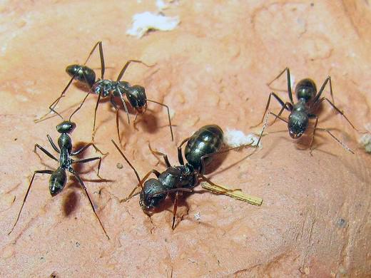 Cataglyphis aenescens (степной бегунок): матка с рабочими