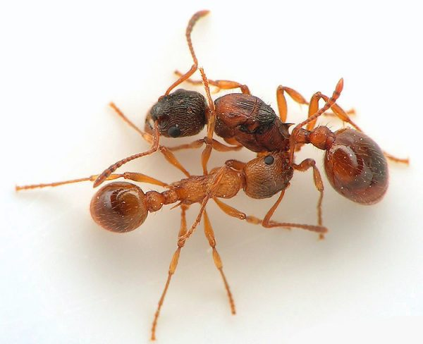 Myrmica rubra: матка с рабочими