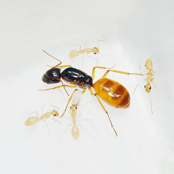 Camponotus fedtschenkoi