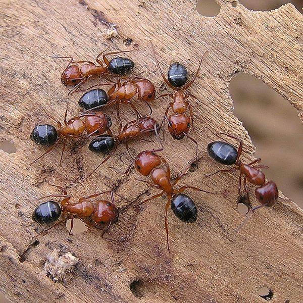 Camponotus lamereei