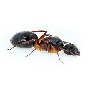 Camponotus mitis