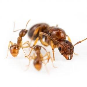 Aphaenogaster subterranea
