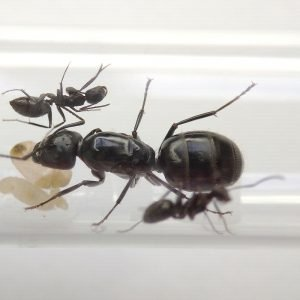 Camponotus saxatilis