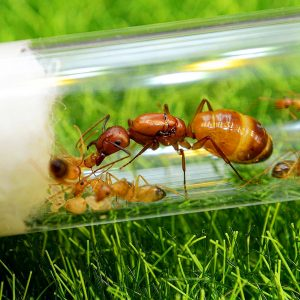 Camponotus baldaccii